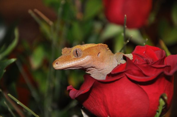crested gecko uvb lighting