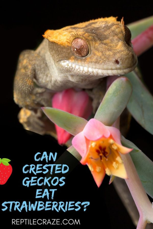 Can crested geckos eat strawberries?
