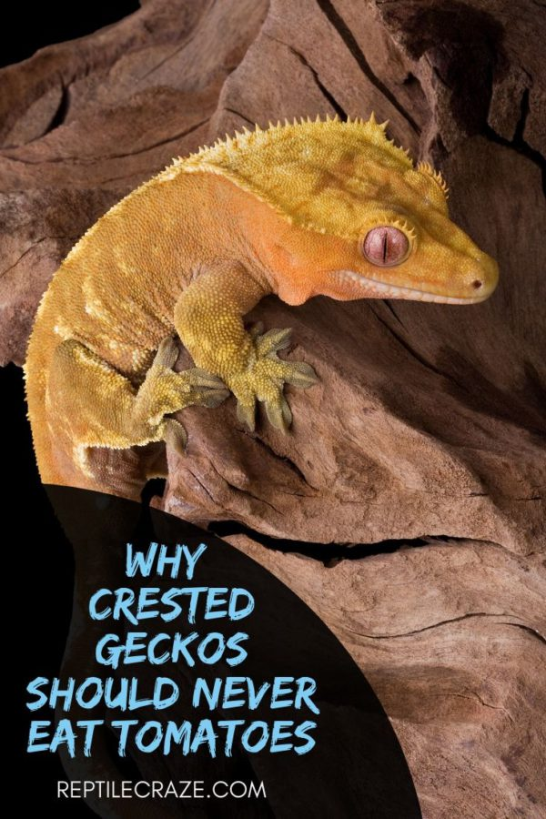 Can crested geckos eat tomatoes?