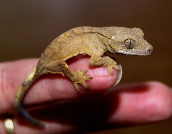 How to bond with a crested gecko