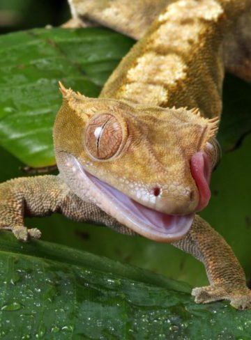 why does my crested gecko lick me?