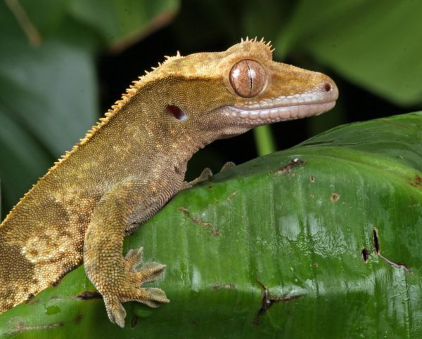 how to calm down an aggressive crested gecko?