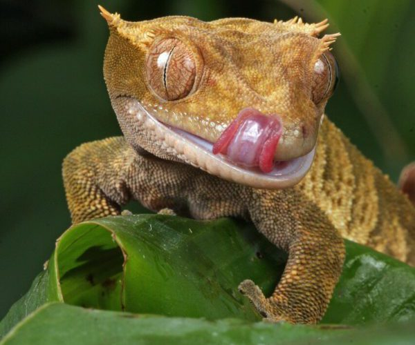 are strawberries okay for crested geckos?