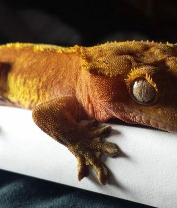 Can crested geckos eat bananas?