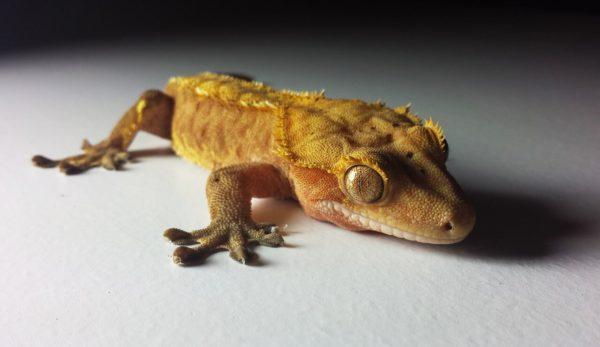 crested gecko bonding