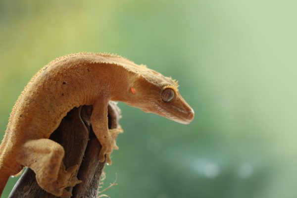 Are crested geckos good swimmers?
