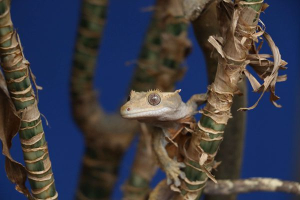 How fast are crested geckos?