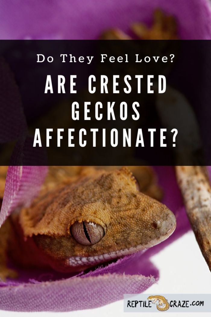 Are crested geckos affectionate?
