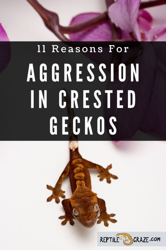 why is my crested gecko so aggressive?