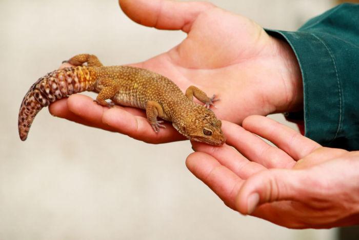 leopard geckos and superworms