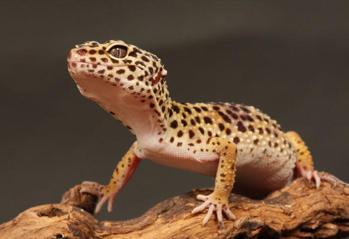 do leopard geckos stink?
