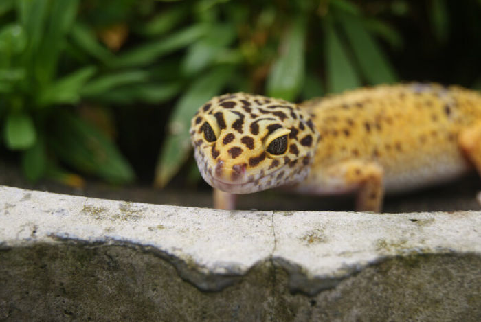 how long can leopard geckos go without pooping?