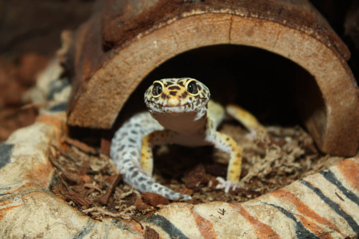 aggression in leopard geckos