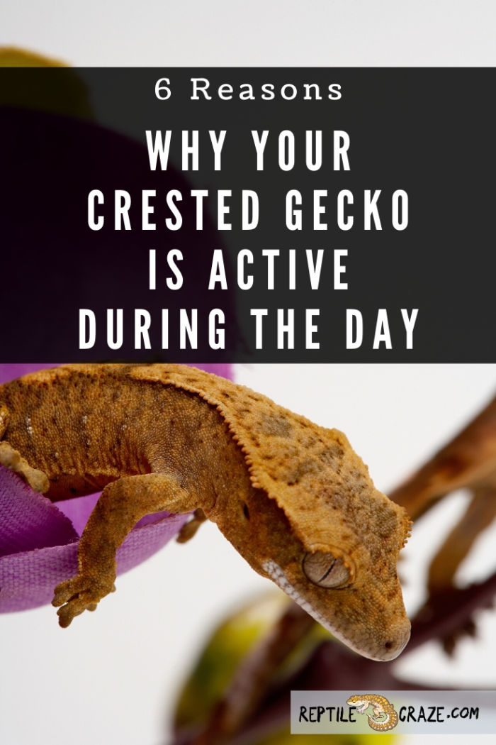 Why is my crested gecko active during the day?