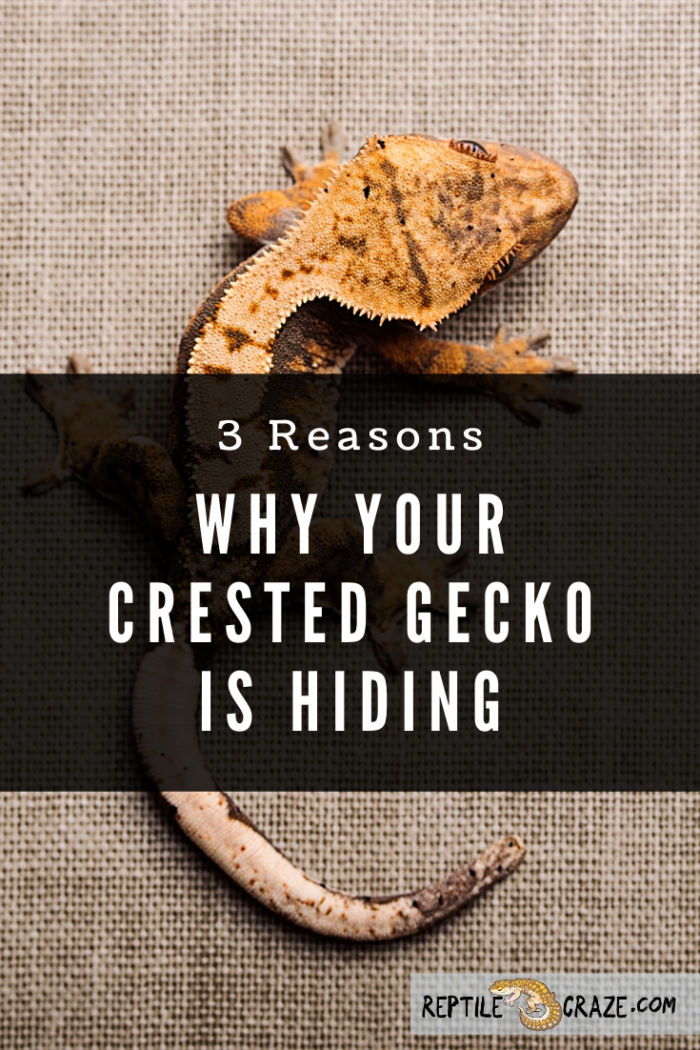 Why is my crested gecko hiding?