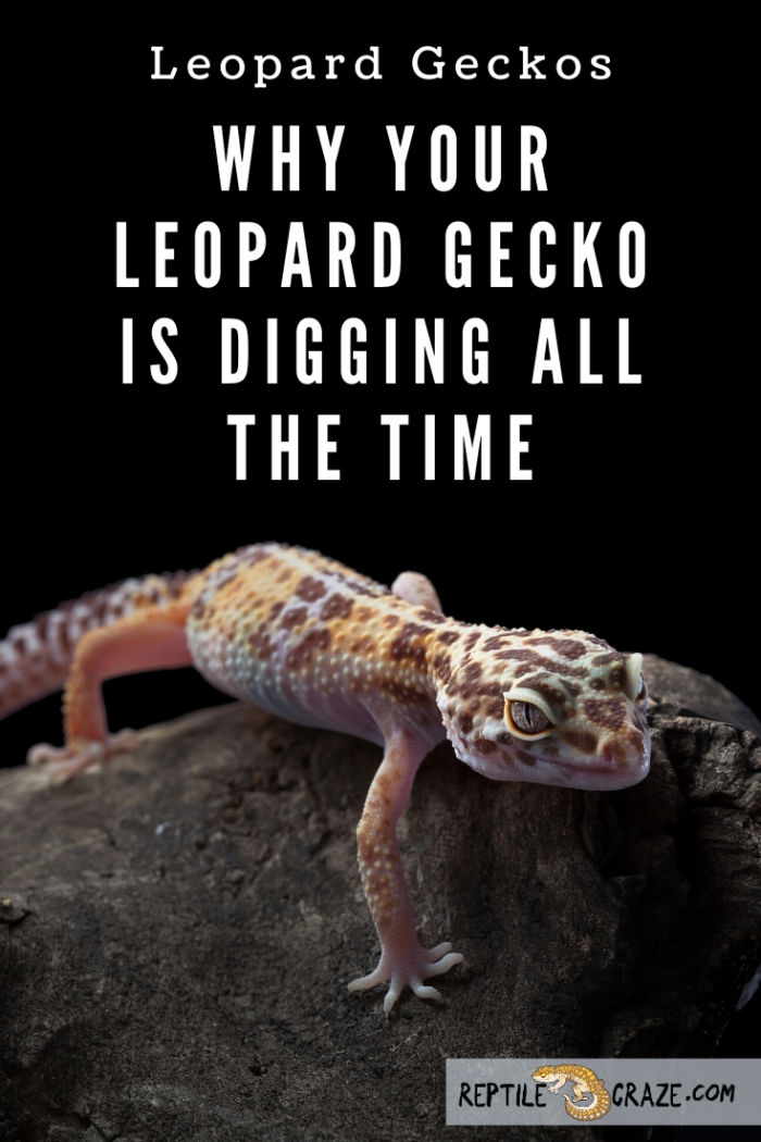 Why is my leopard gecko digging?