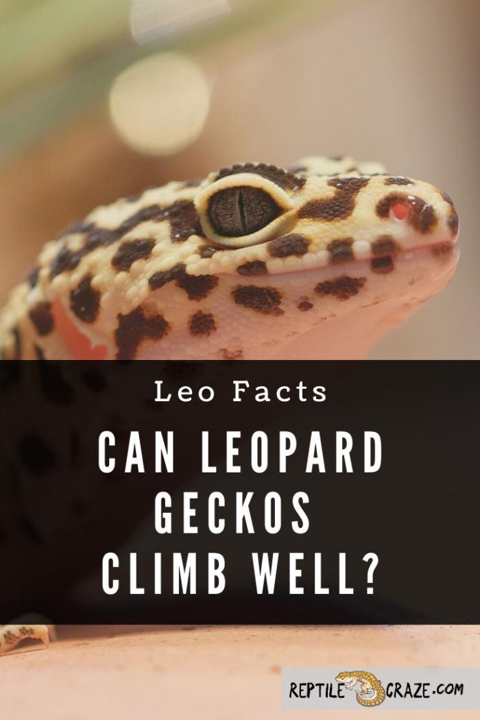 Can leopard geckos climb?