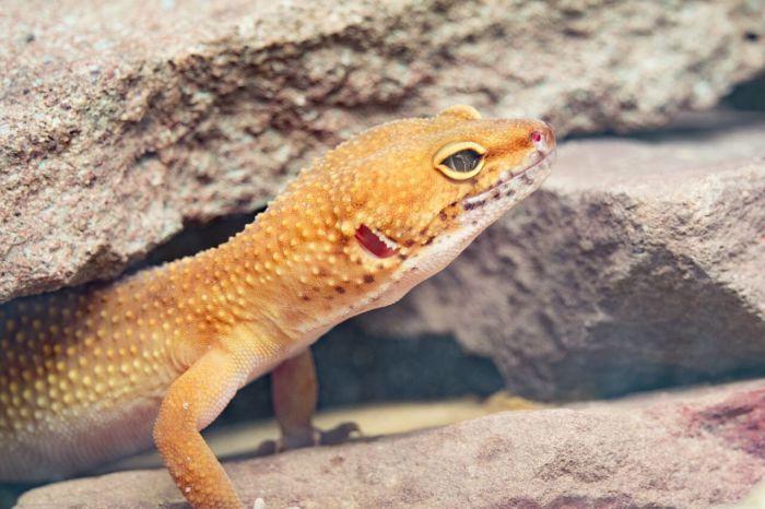 can leopard geckos eat wild ants?