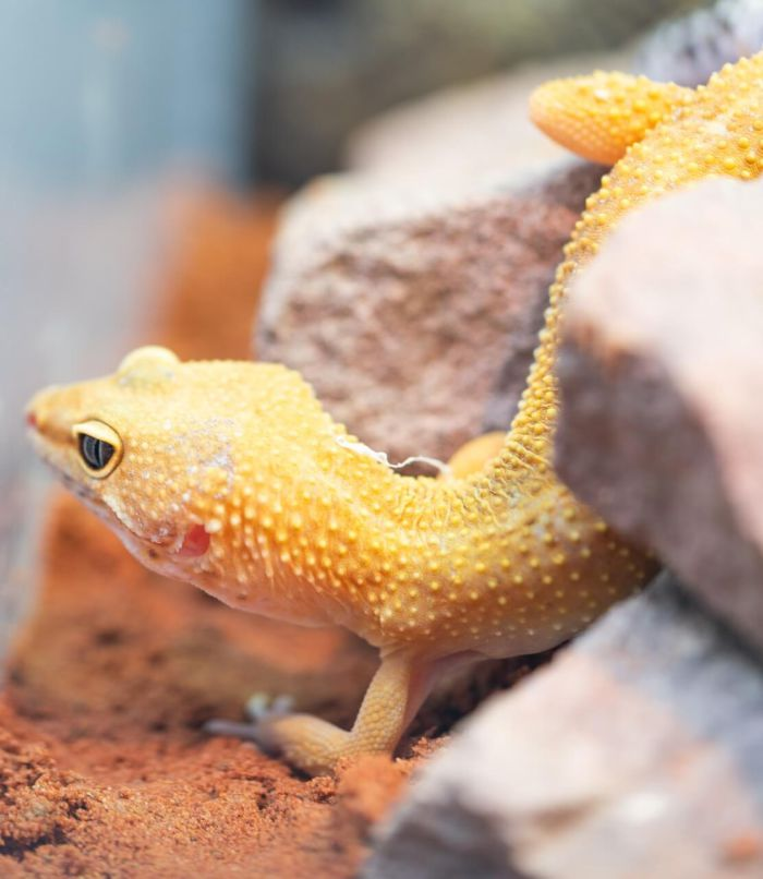 are earthworms good for leopard geckos?