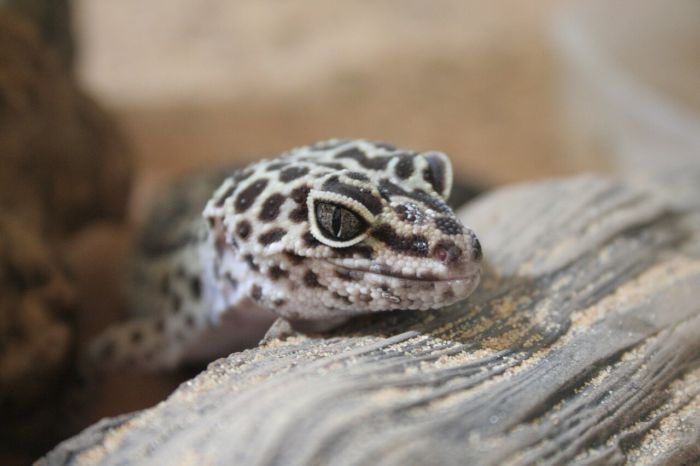 why is my leopard gecko digging in the sand?