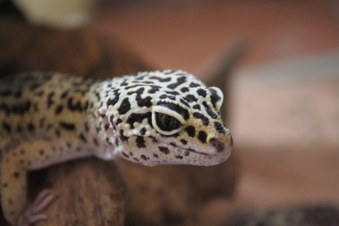 is my leopard gecko impacted?