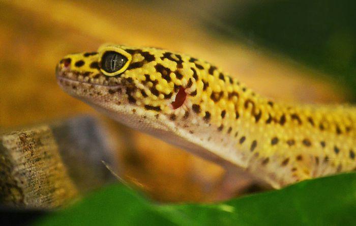 Leopard gecko digging behavior