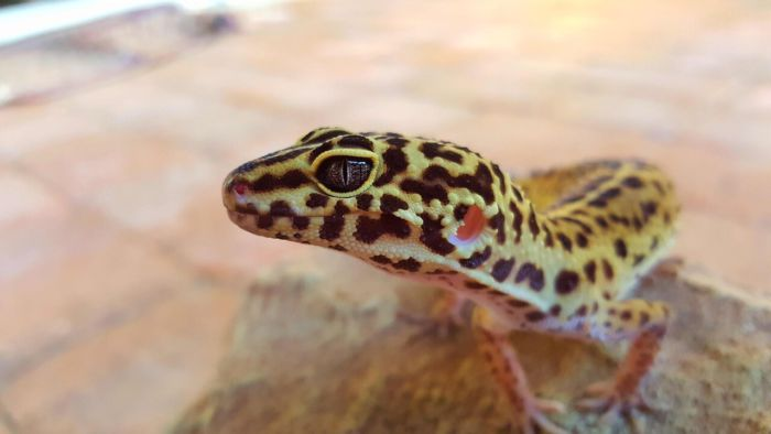 are leopard geckos dangerous for kids?
