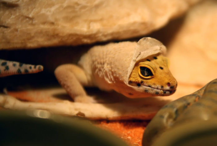 leopard gecko is eating its own skin