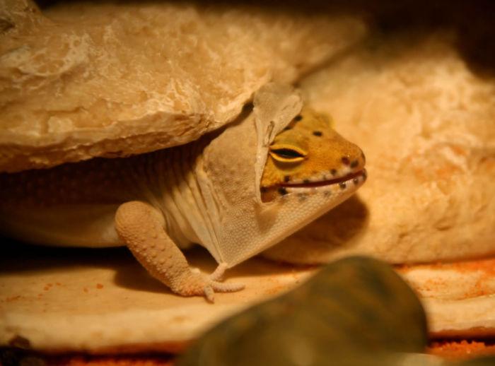 Do leopard geckos need baths?