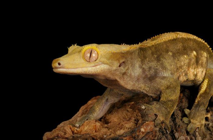 how well do crested geckos hear?