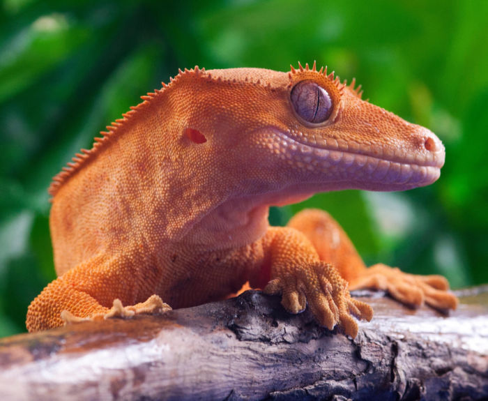 Aggression in crested geckos