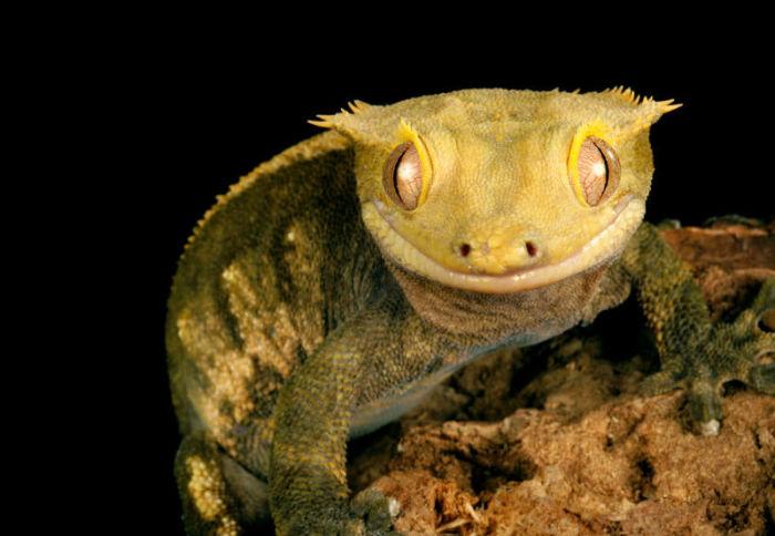 crested gecko biting behavior
