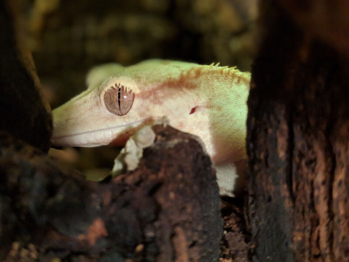 reasons for hiding in crested geckos