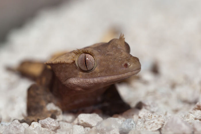 Do crested geckos feel love?