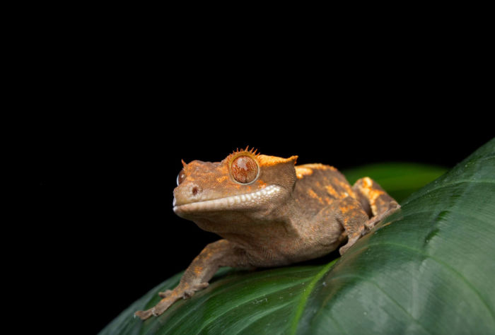 why is my crested gecko awake all the time?