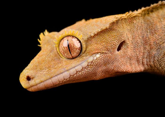 Crested gecko handling