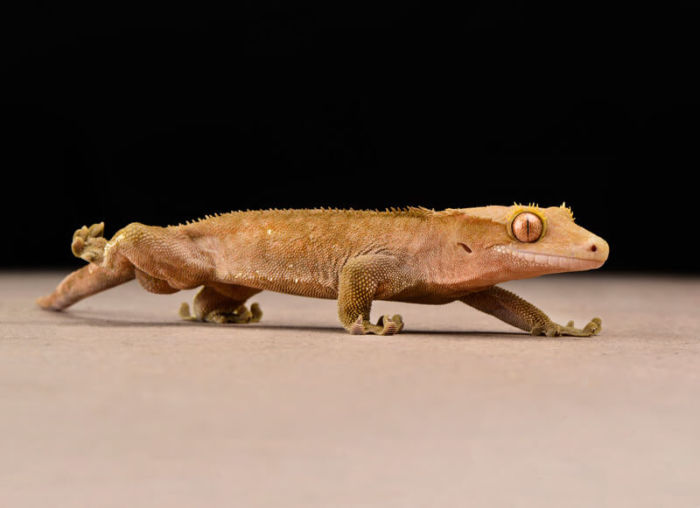 are crested geckos solitary animals?