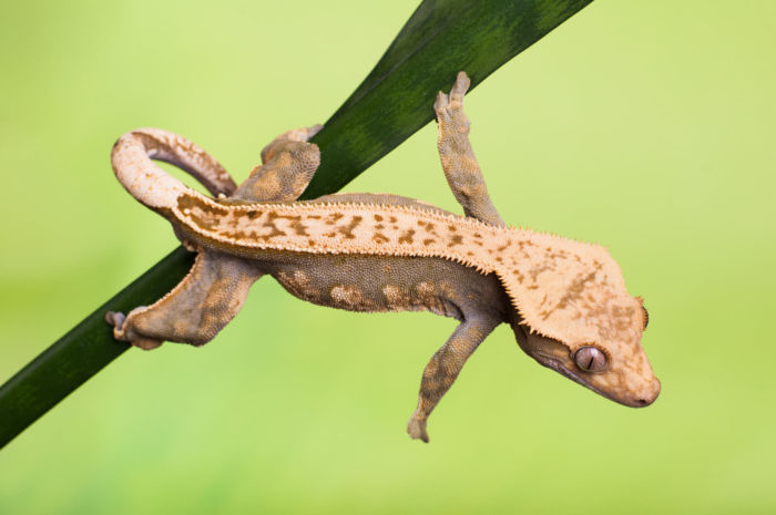 why is my crested gecko making noises?