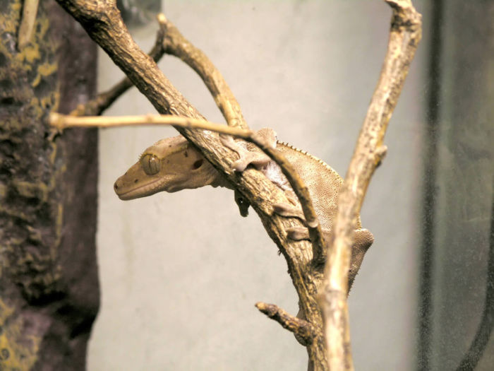 are crested geckos social animals?