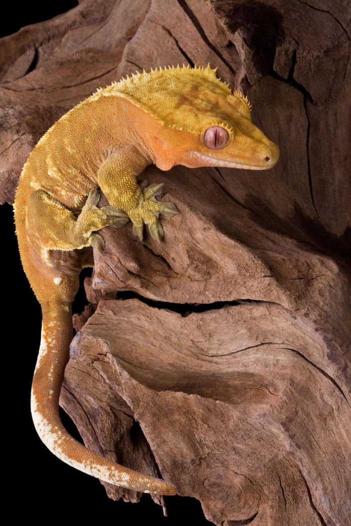 night light crested gecko
