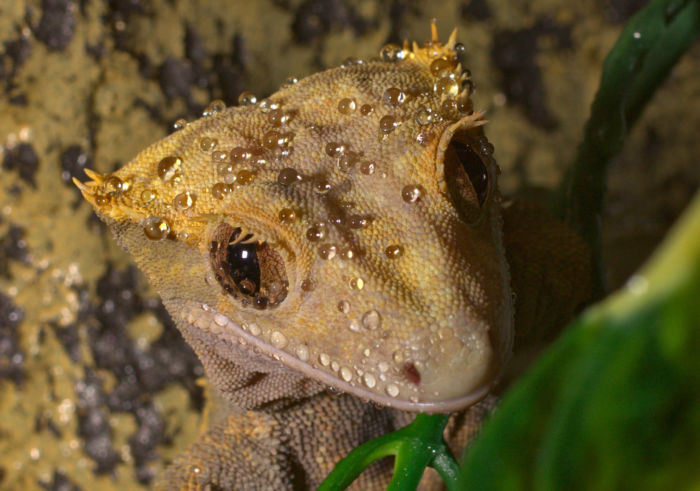 How to bathe a crested gecko?