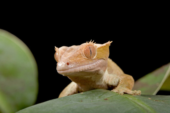 crested gecko hearing
