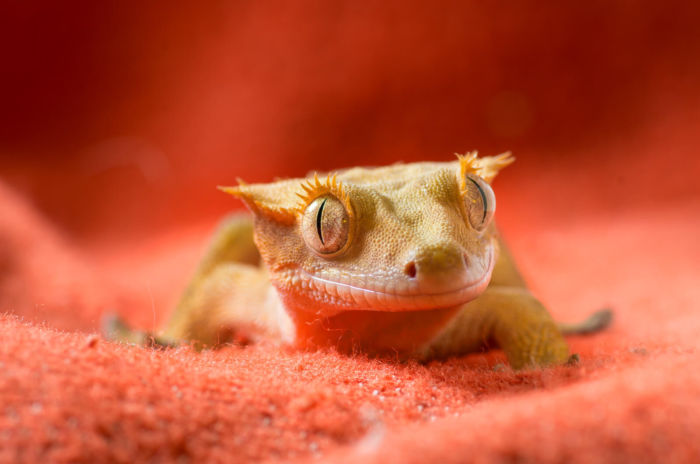 Can crested geckos show affection?