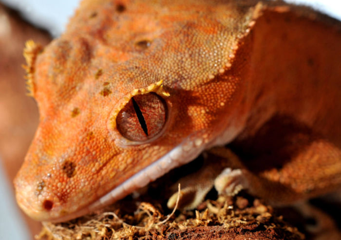 how to stop my crested gecko from biting?