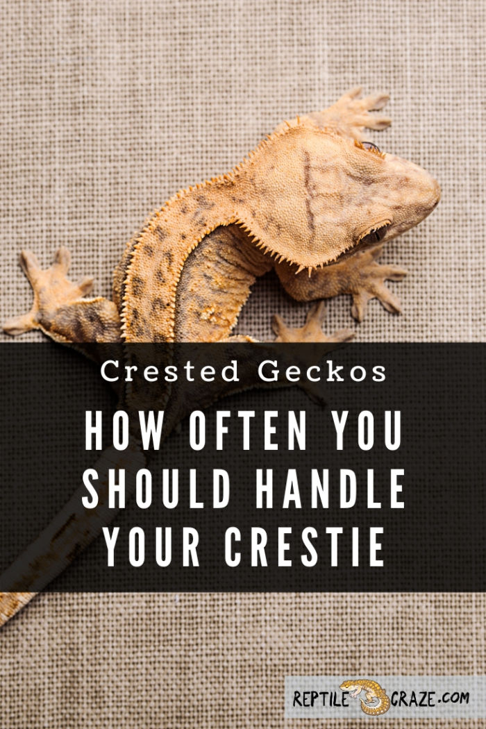 How often can I handle my crested gecko?