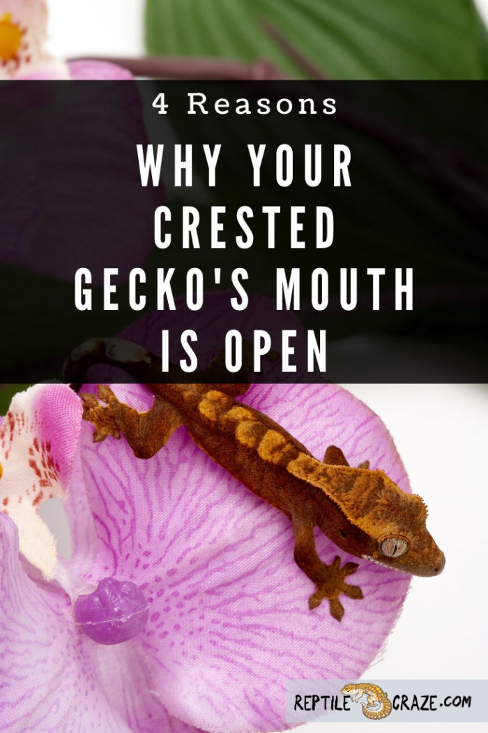 Why is my crested gecko's mouth open?