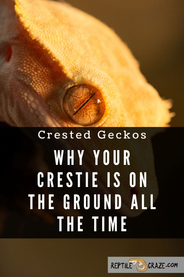 Why is my crested gecko on the ground?
