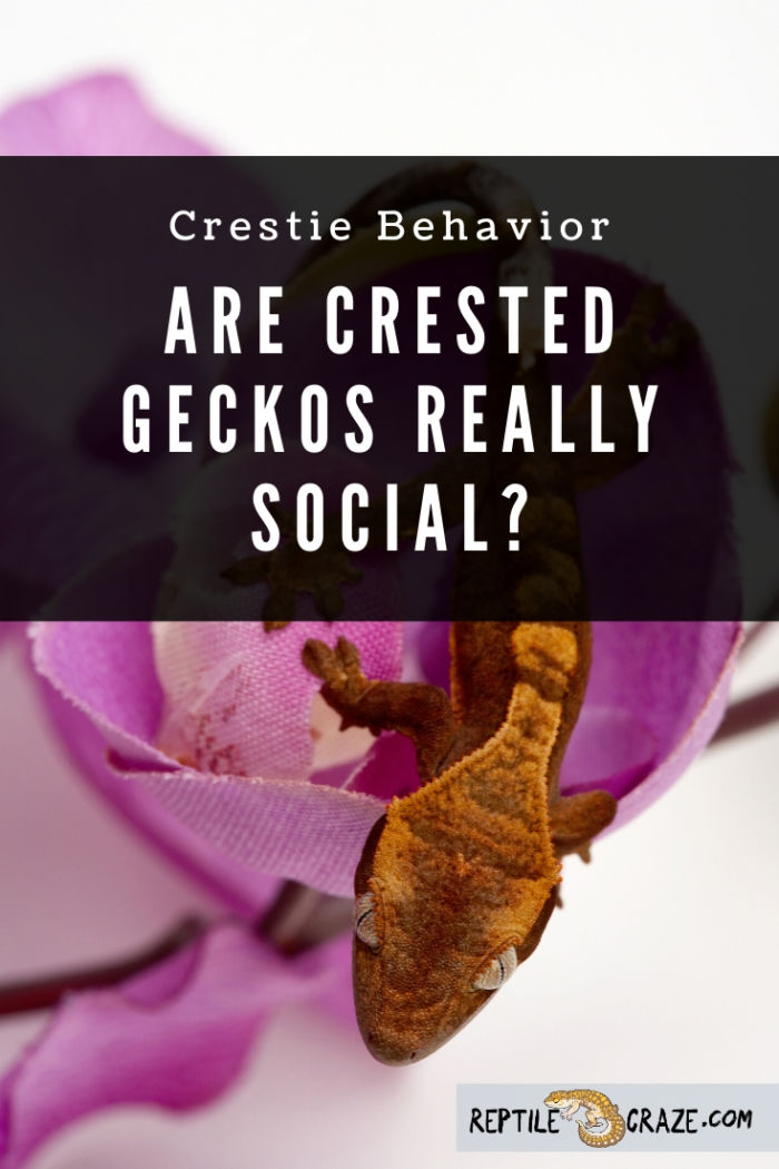 Are crested geckos social?