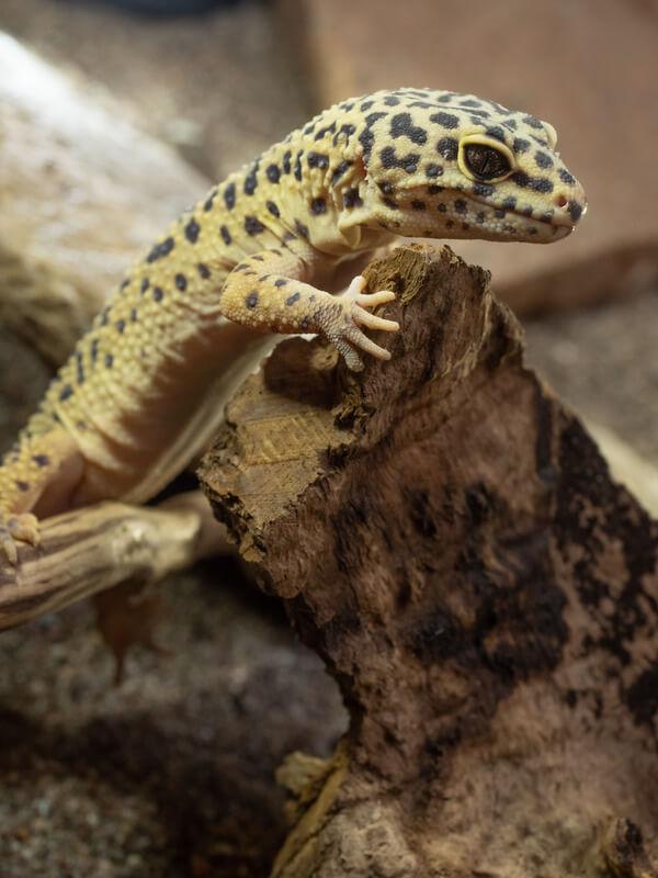 can leopard geckos eat fruits?