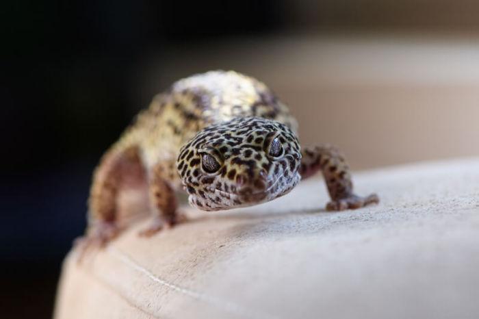 Why do leopard geckos stare?